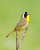 BG-091: Common Yellowthroat