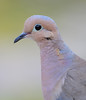 BG-045: Mourning Dove