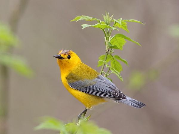 BG-166: Prothonotary Warbler