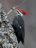 BG-134: Pileated Woodpecker