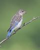 BG-090: Eastern Bluebird - Juvenile
