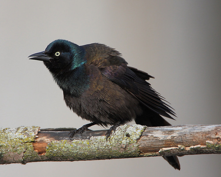 BG-037: Common Grackle