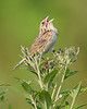 BG-080: Henslow's Sparrow