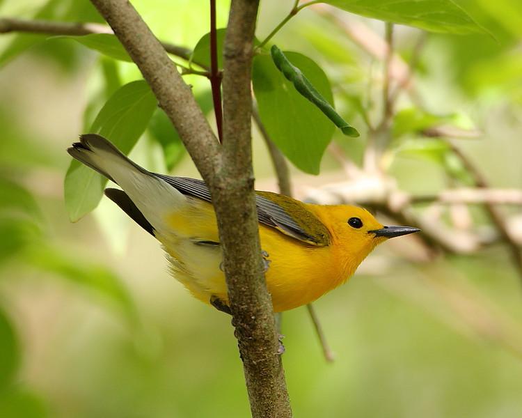 BG-148: Prothonotary Warbler