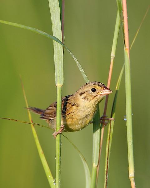 BG-082: Henslow's Sparrow - Juvenile