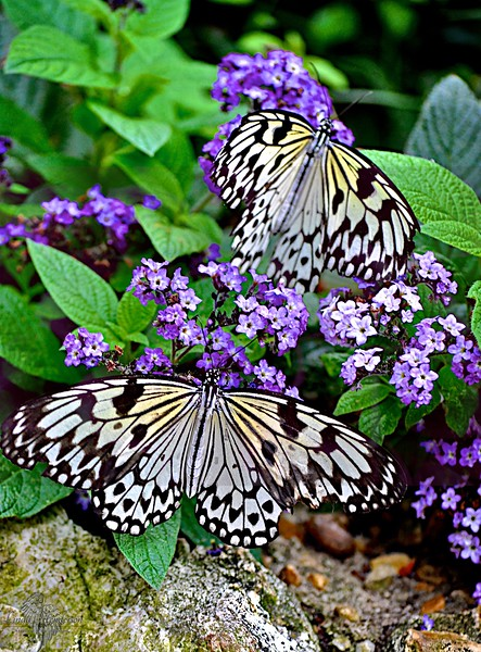 Butterflies Having Lunch
