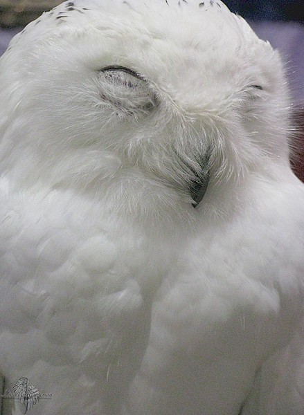 Giggling Snow Owl