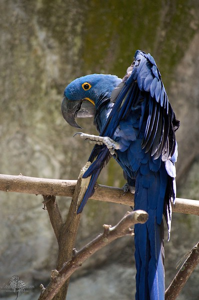 Royal Hyacinthe Macaw