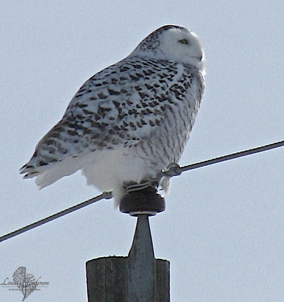 Snow Owl Male On Pole
