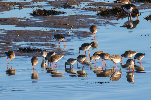 Redshanks Feeding