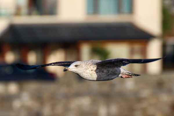 Herring Gull (2nd Year)