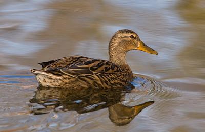 Mallard Duck 4