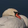 Mute Swan 2