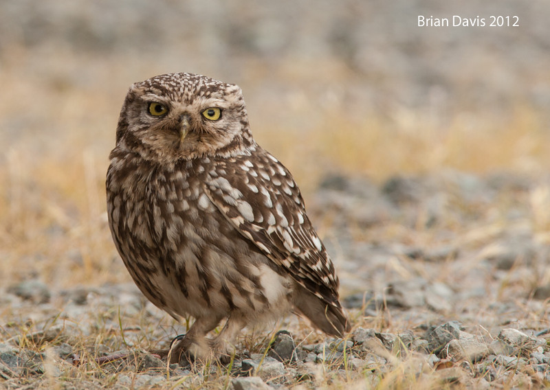 Little Owl 3