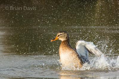 Mallard Duck 3