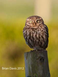 Little Owl 1