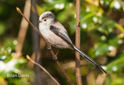 Long Tailed Tit 1