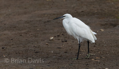 Little Egret 2