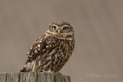 Little Owl 6