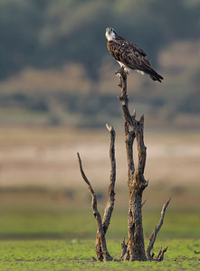 Osprey on the tree