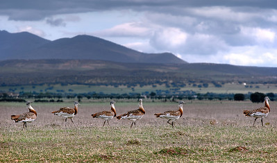 Landscape & Great Bustard