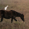 Cattle Egret (Bubulcus ibis)--- Riding