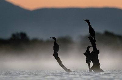 Cormorants before sunrise