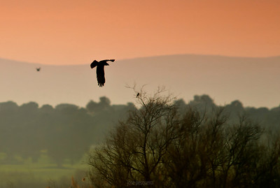 Landscape & Western Marsh Harrier
