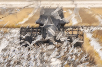 Puddling (Doñana)