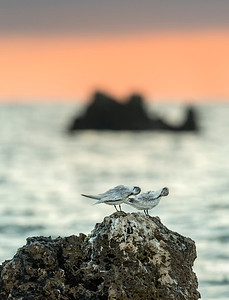 Sandwich Tern on the Rocks