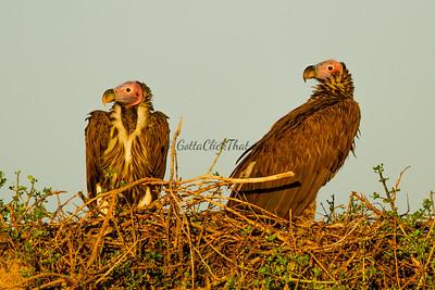 Vultures, Masai Mara, Kenya