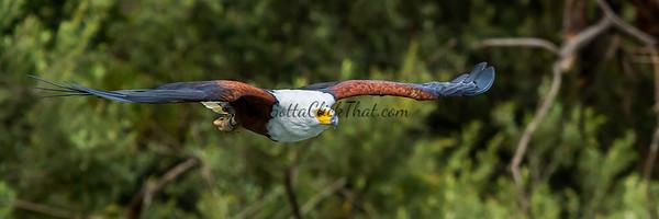 Fish Eagle, Lake Naivasha, Kenya