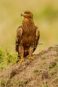 Golden Eagle, Masai Mara, Kenya
