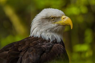 Bald Eagle, WA