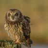 Short Eared Owl, BC, Canada