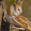 Barn Owl, Tucson, AZ