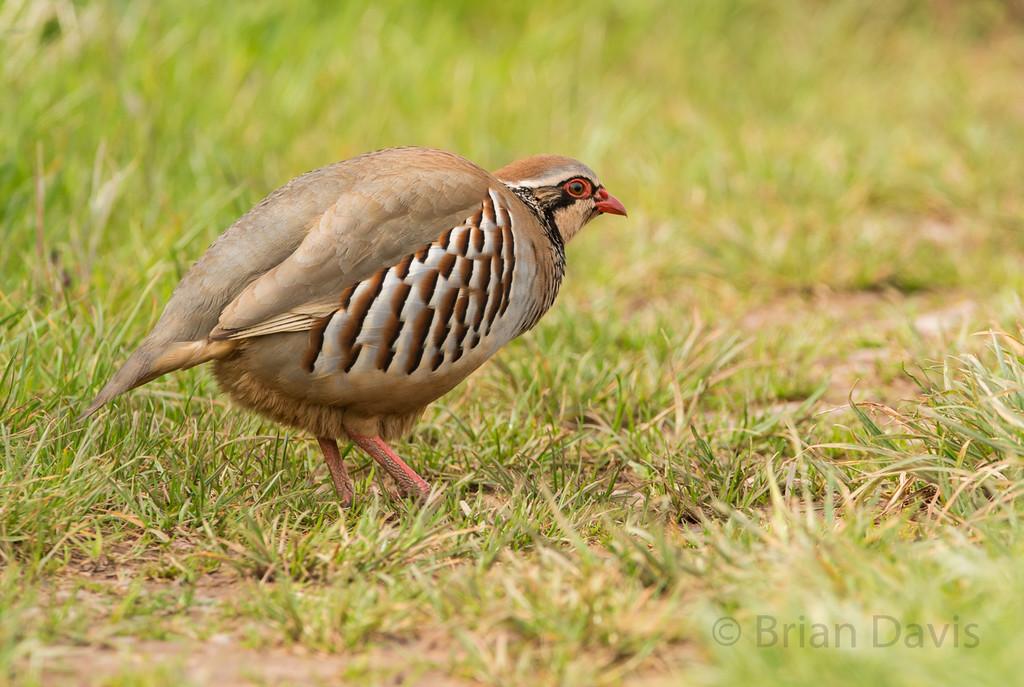 Red Legged Partridge 4