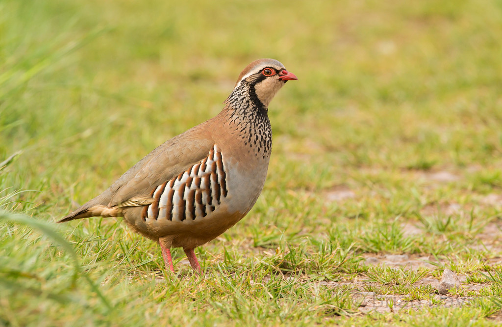 Red Legged Partridge 2