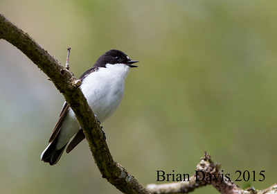 Pied Flycatcher 2