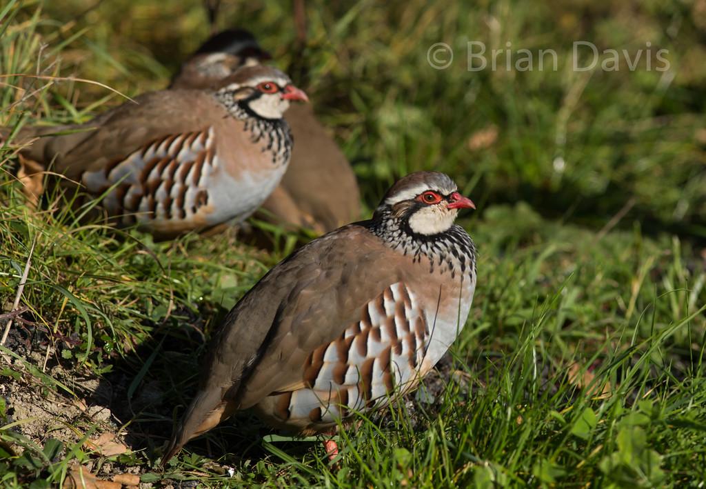 Red Legged Partridge 6