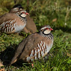 Red Legged Partridge 6