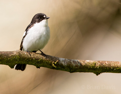 Pied Flycatcher 3