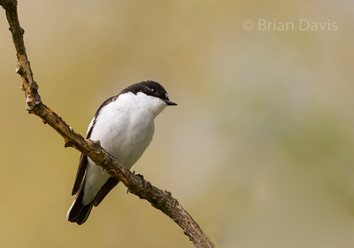 Pied Flycatcher 4
