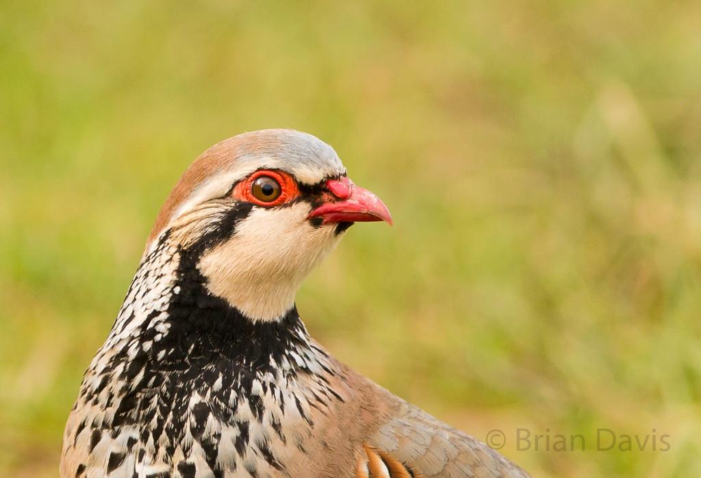 Red Legged Partridge 3