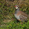 Red Legged Partridge 7