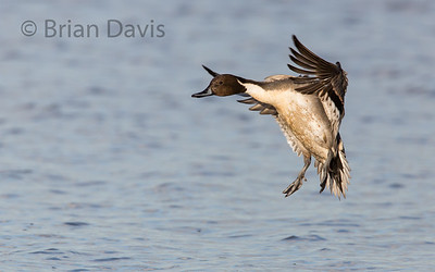 Pintail 3 , about to splash down