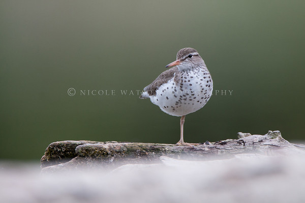 Spotted Sandpiper resting on a log with one leg tucked in