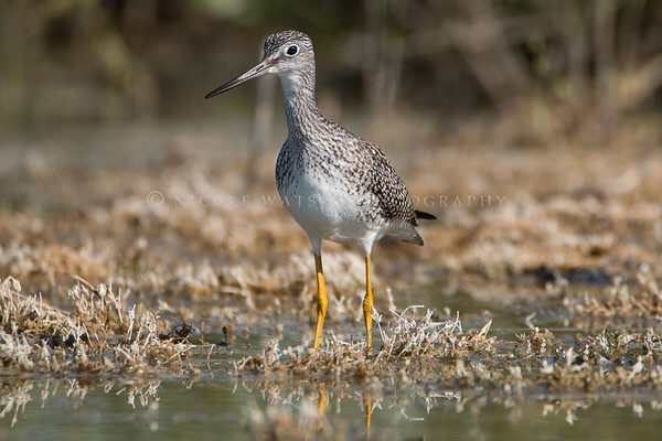 Greater  Yellowlegs -2