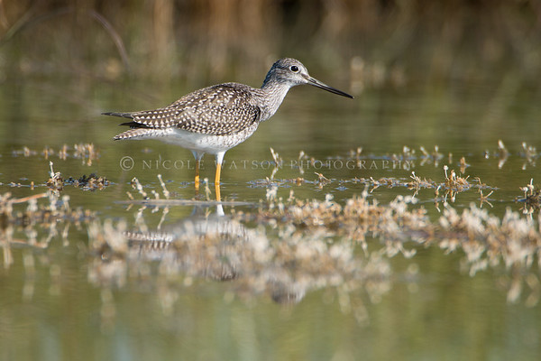 Greater Yellowlegs Sandpiper -1