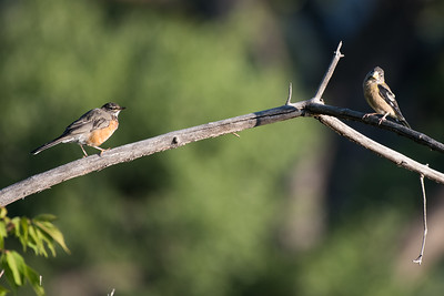 American Robin and Evening Grosbeak